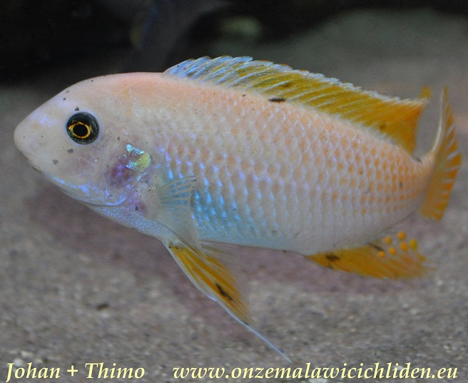 labeotropheus fuelleborni mbenji o labeotropheus fuelleborni which has ...