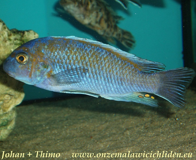 labeotropheus fuelleborni tchalo labeotropheus fuelleborni which has a ...