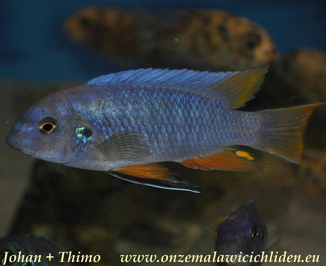 labeotropheus fuelleborni eastern labeotropheus fuelleborni which has ...
