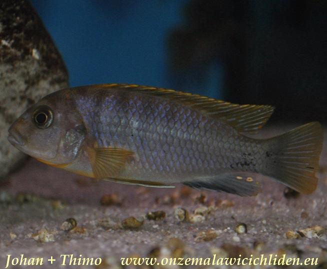 labidochromis sp hongi lipingo labidochromis sp hongi can be found ...