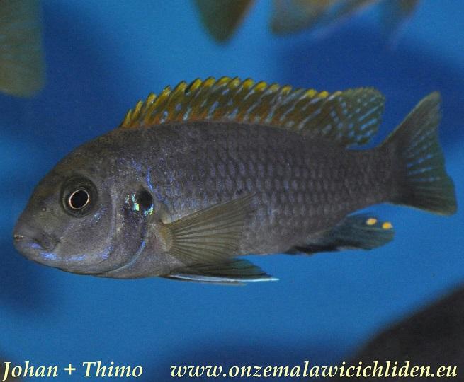 labidochromis sp hongi lundo island labidochromis sp hongi can be ...