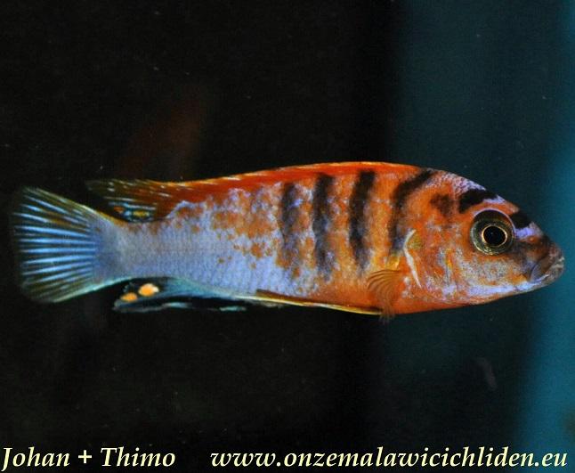 labidochromis sp hongi super red top labidochromis sp hongi can be ...