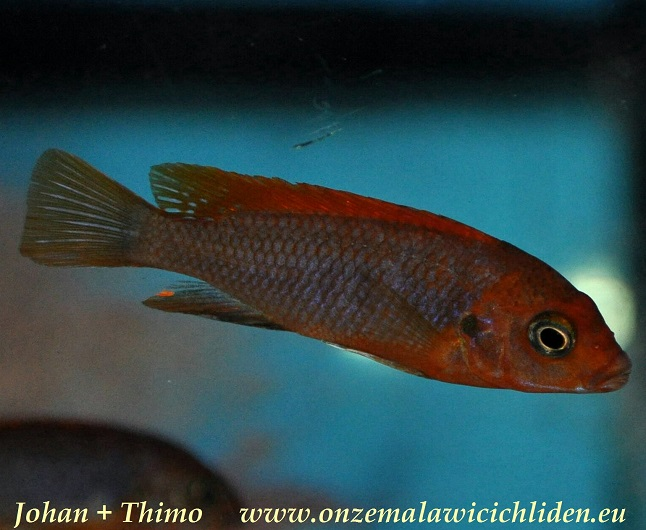 Hongi : labidochromis sp hongi super red top labidochromis sp hongi can be ...